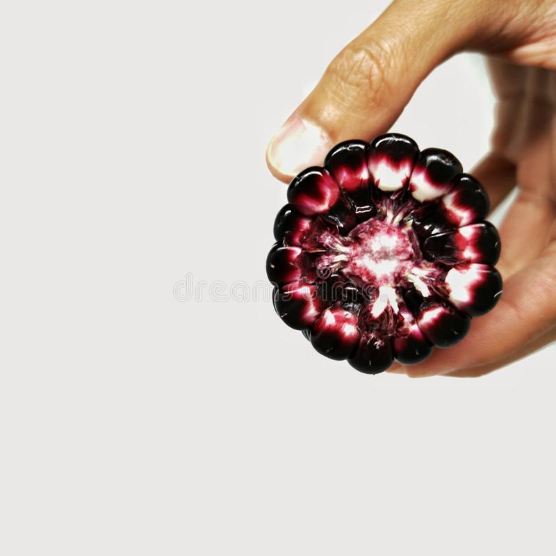 Πορφυρό αυτί καλαμποκιού στο ανθρώπινο χέρι που παρουσιάζει το σπόρο και σπάδικα στοκ φωτογραφίες