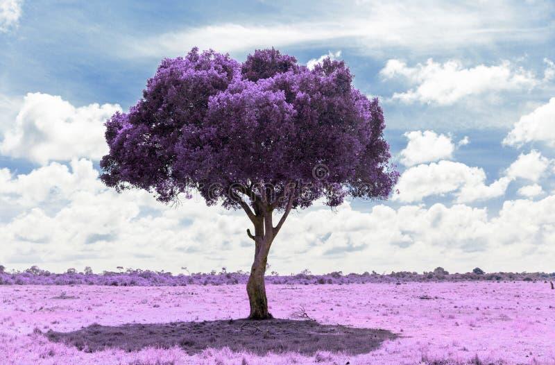 Πορφυρό δέντρο ακακιών στη σαβάνα με την υπέρυθρη επίδραση στοκ φωτογραφίες