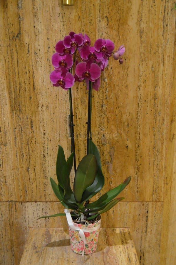 Πορφυρό δοχείο εγκαταστάσεων λουλουδιών ορχιδεών στοκ εικόνα