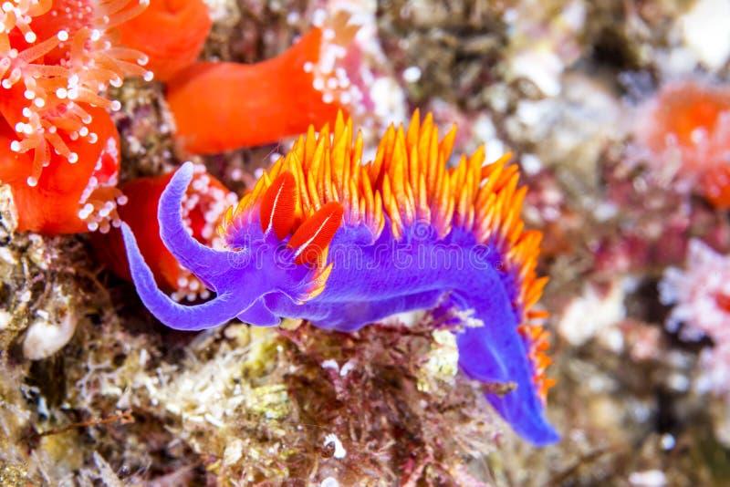 Πορφυρό ισπανικό σάλι nudibranch στοκ εικόνες με δικαίωμα ελεύθερης χρήσης