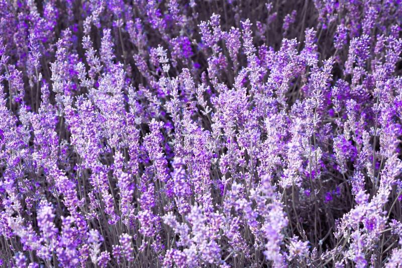 Πορφυρό ιώδες lavender χρώματος λουλούδι στοκ φωτογραφία
