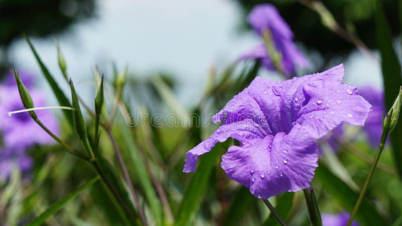 Πορφυρό ιώδες λουλούδι με τις σταγόνες βροχής στοκ φωτογραφίες