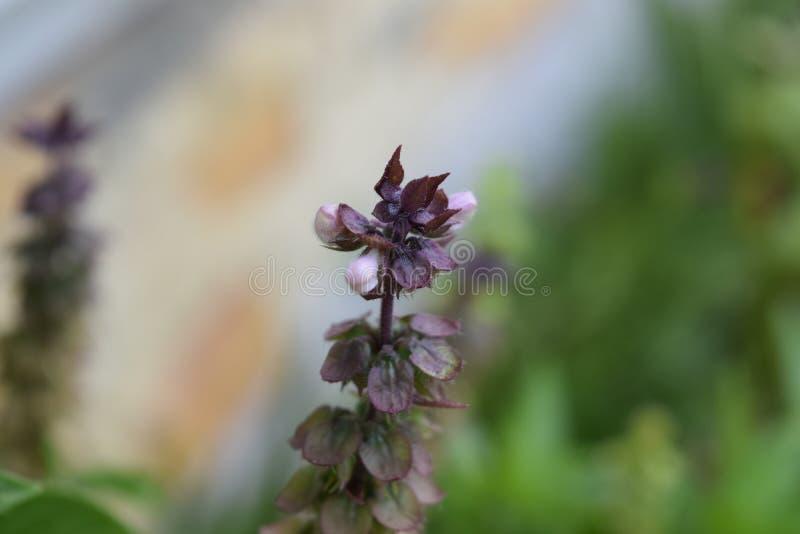Πορφυρό και άσπρο λουλούδι βασιλικού στοκ εικόνα με δικαίωμα ελεύθερης χρήσης