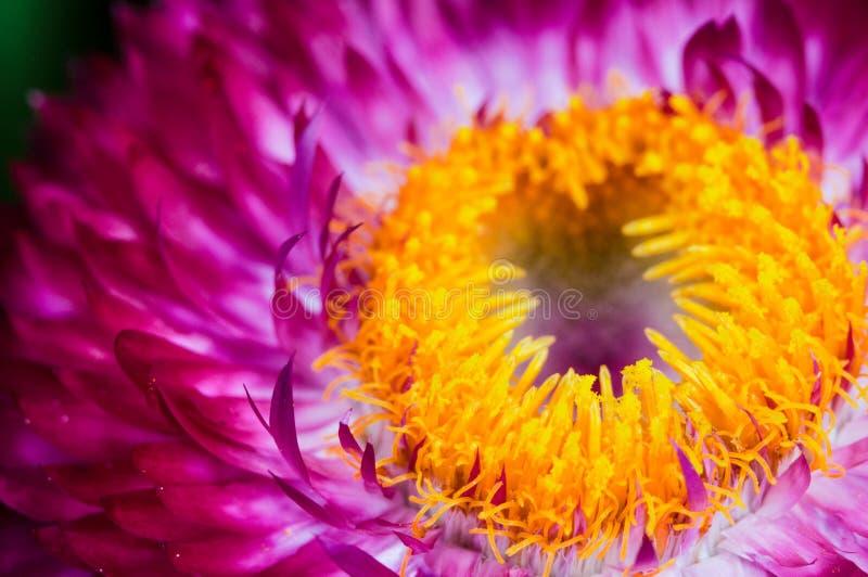 Πορφυρό και κίτρινο λουλούδι την άνοιξη στοκ φωτογραφίες