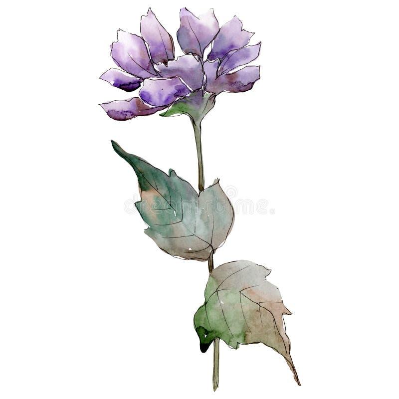 Πορφυρό λουλούδι αστέρων Watercolor Floral βοτανικό λουλούδι Απομονωμένο στοιχείο απεικόνισης διανυσματική απεικόνιση