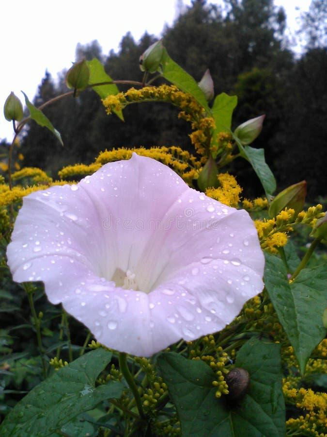πορφυρό λουλούδι με τη δροσιά στοκ εικόνα με δικαίωμα ελεύθερης χρήσης
