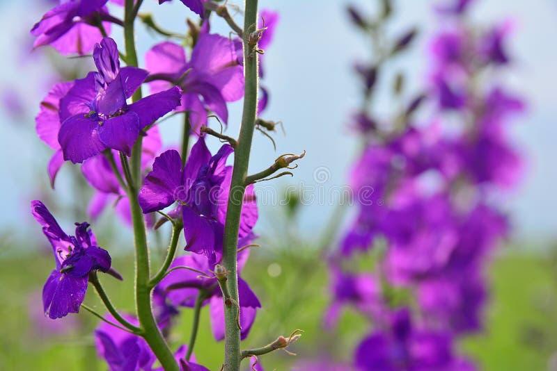 Πορφυρό λουλούδι μπροστά από έναν τομέα τα ίδια λουλούδια - λεπτομέρεια στοκ εικόνες