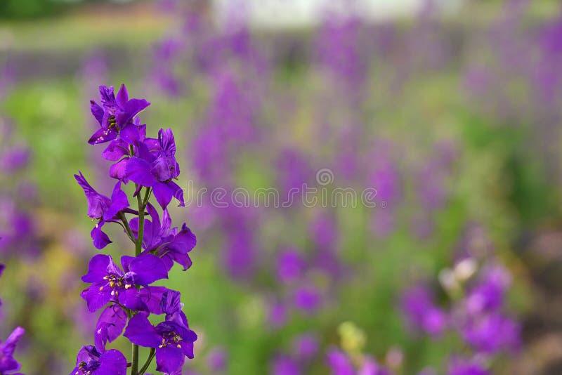 Πορφυρό λουλούδι μπροστά από έναν τομέα τα ίδια λουλούδια - λεπτομέρεια στοκ εικόνα με δικαίωμα ελεύθερης χρήσης