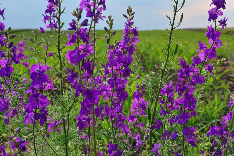 Πορφυρό λουλούδι μπροστά από έναν τομέα τα ίδια λουλούδια στοκ φωτογραφία με δικαίωμα ελεύθερης χρήσης
