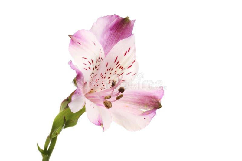 Πορφυρό λουλούδι Alstroemeria στοκ εικόνες