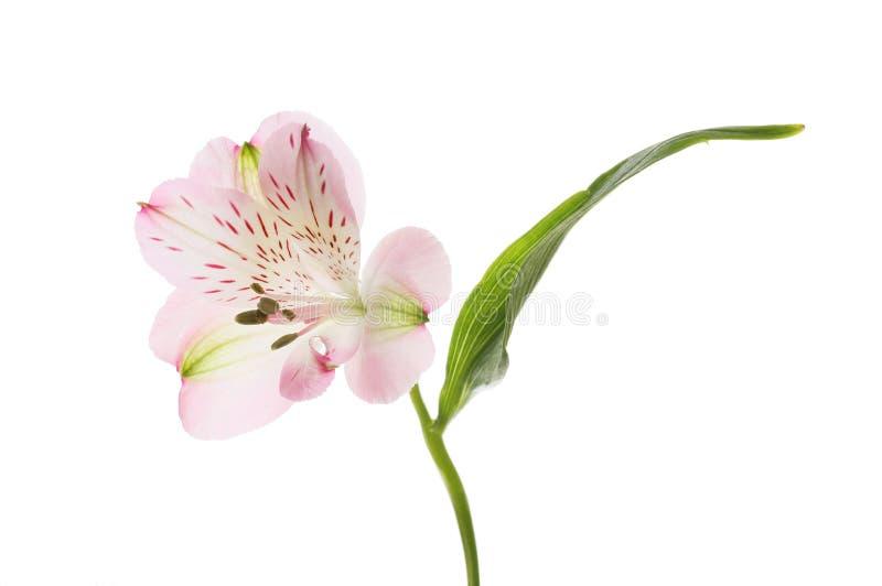 Πορφυρό λουλούδι Alstroemeria στοκ εικόνα