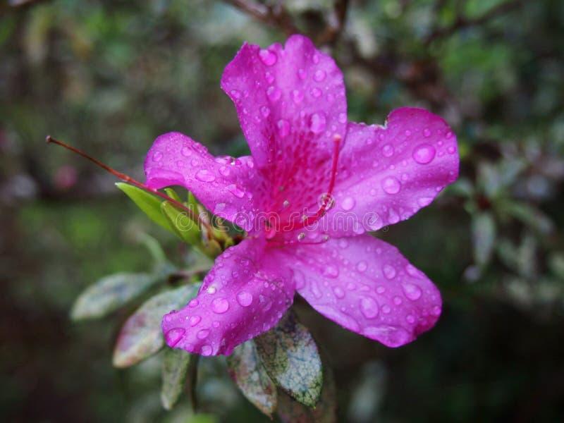 Πορφυρό λουλούδι αζαλεών με τις πτώσεις του νερού στο λουλούδι στοκ φωτογραφία