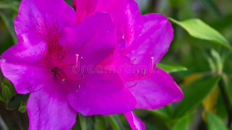 Πορφυρό λουλούδι αζαλεών στοκ φωτογραφίες με δικαίωμα ελεύθερης χρήσης