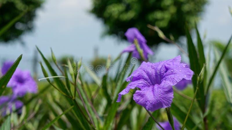 Πορφυρό λουλούδι με τις σταγόνες βροχής στοκ εικόνα με δικαίωμα ελεύθερης χρήσης