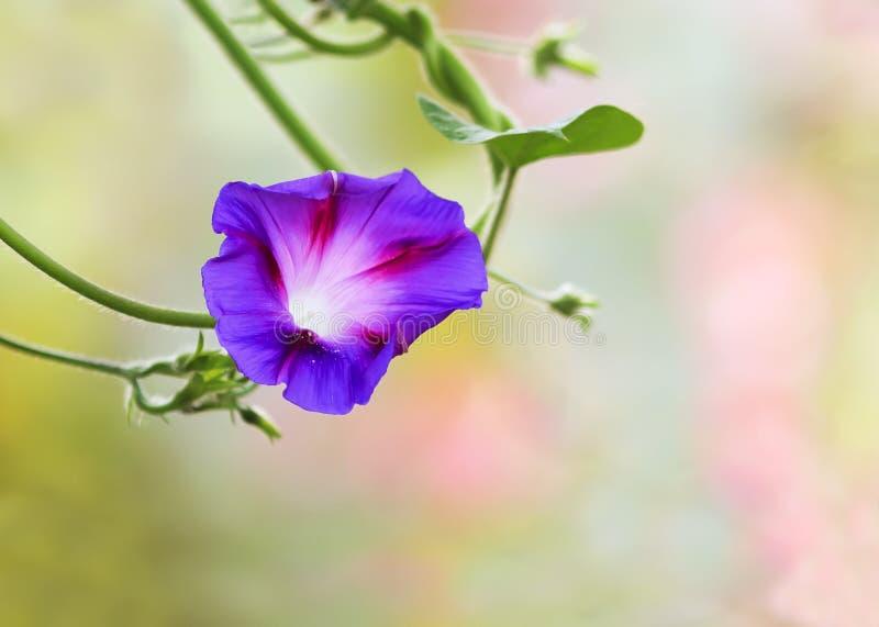 Πορφυρό λουλούδι convolvulus με τις άσπρες ραβδώσεις στοκ φωτογραφία με δικαίωμα ελεύθερης χρήσης