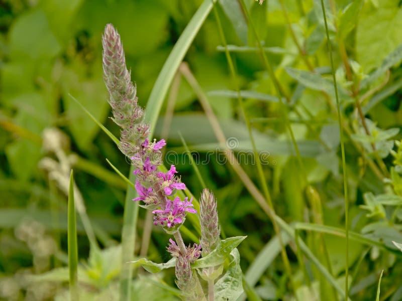 Πορφυρό ρακέτα λουλουδιών - Spiraea tomentosa στοκ φωτογραφίες με δικαίωμα ελεύθερης χρήσης