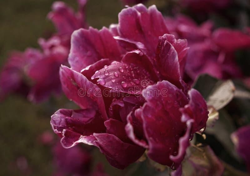 πορφυρό σκοτεινό υπόβαθρο σύστασης πετάλων νερού πτώσεων κινηματογραφήσεων σε πρώτο πλάνο λουλουδιών peony στοκ φωτογραφίες