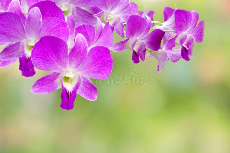 Πορφυρό ταϊλανδικό λουλούδι ορχιδεών στο αφηρημένο υπόβαθρο φύσης στοκ εικόνες με δικαίωμα ελεύθερης χρήσης
