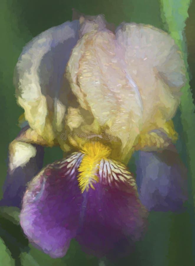 Πορφυρό χρυσό και ελαφρύ άνθος της Iris μαυρίσματος ψηλό γενειοφόρο στοκ φωτογραφίες με δικαίωμα ελεύθερης χρήσης
