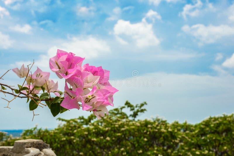 Πορφυρό bougainvillea στον κήπο στοκ εικόνα