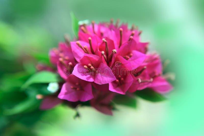 Πορφυρό bougainvillea στοκ εικόνα