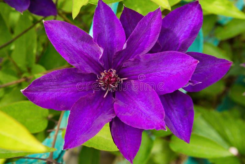 Πορφυρό Clematis Arabella που ανθίζει στο θερινό κήπο Πορφυρός στενός επάνω λουλουδιών στοκ εικόνες