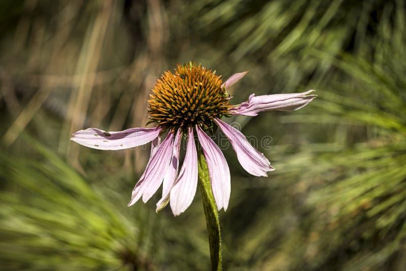 Πορφυρό coneflower σε έναν κήπο στοκ φωτογραφία με δικαίωμα ελεύθερης χρήσης