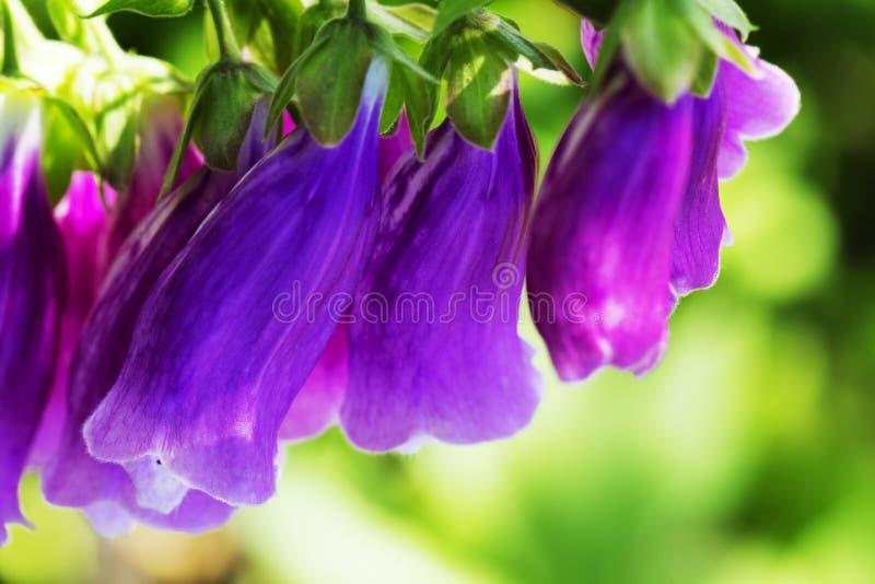 Πορφυρό Digitalis foxglove purpurea με τα μωβ λουλούδια με τα πορφυρά σημεία Καταπληκτικό υπόβαθρο λουλουδιών στοκ φωτογραφίες
