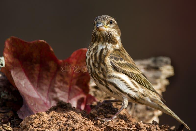 Πορφυρό Finch θηλυκό στοκ εικόνες με δικαίωμα ελεύθερης χρήσης