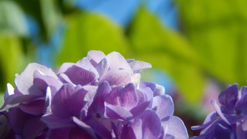 Πορφυρό hortensia στοκ φωτογραφίες με δικαίωμα ελεύθερης χρήσης