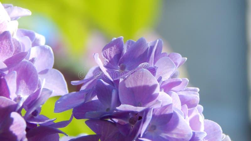 Πορφυρό hortensia στοκ εικόνα