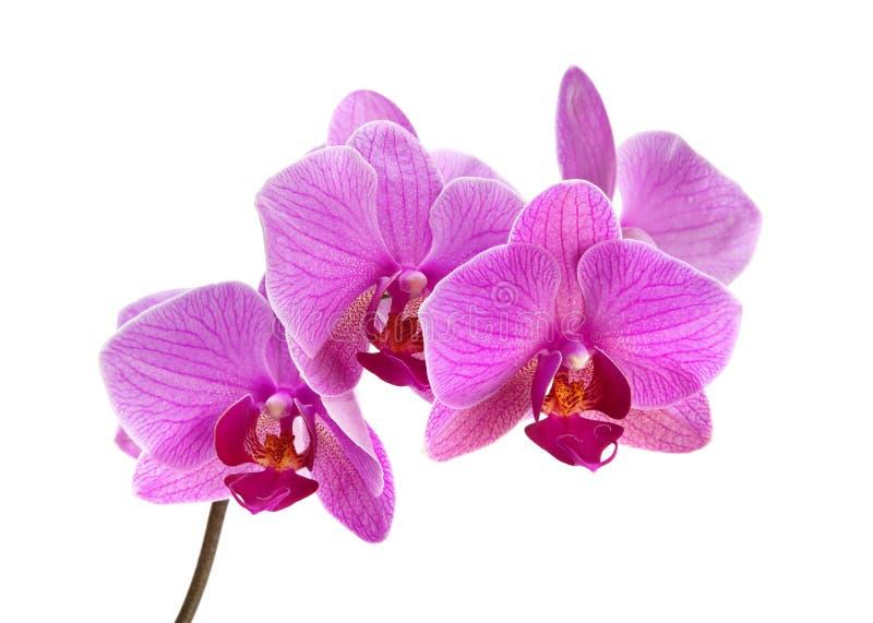 Πορφυρό orchid στοκ εικόνα με δικαίωμα ελεύθερης χρήσης