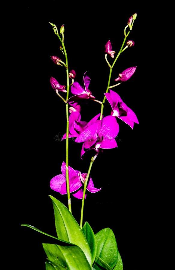 Πορφυρό orchid στοκ εικόνα