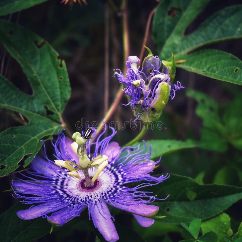 Πορφυρό Passionflower στοκ φωτογραφία με δικαίωμα ελεύθερης χρήσης