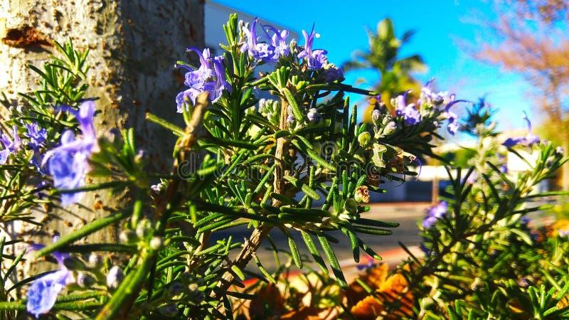 Πορφυρό rosemarie άνθος στοκ φωτογραφία με δικαίωμα ελεύθερης χρήσης