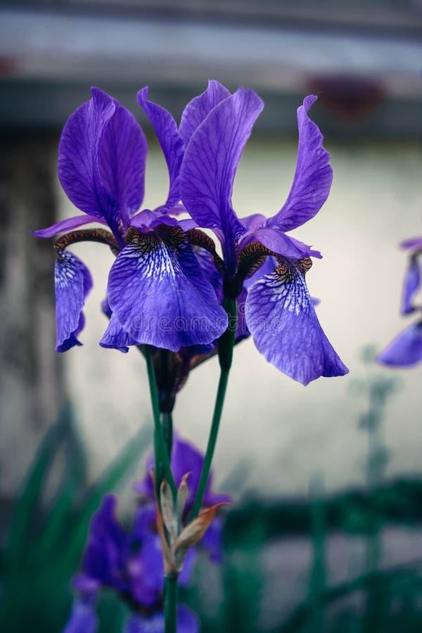 Πορφύρα ίριδων λουλουδιών στοκ φωτογραφία με δικαίωμα ελεύθερης χρήσης