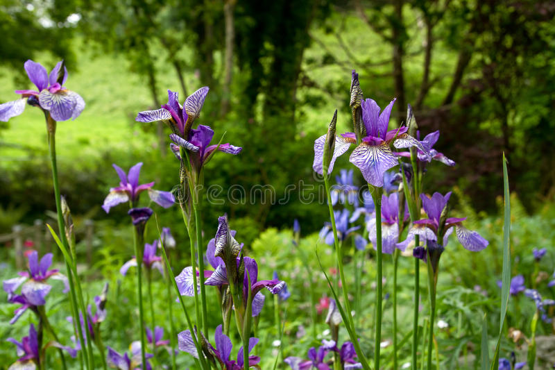 Download πορφύρα ίριδων λουλουδ&io στοκ εικόνα. εικόνα από σκοτεινός - 22785855