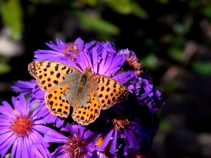 πορφύρα λουλουδιών πετ&alp στοκ εικόνες με δικαίωμα ελεύθερης χρήσης