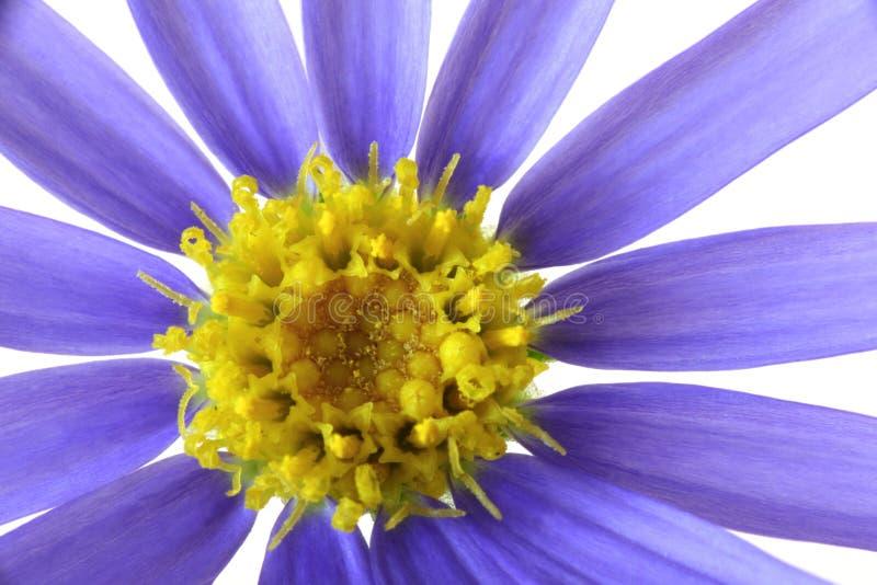 πορφύρα λουλουδιών στοκ εικόνα