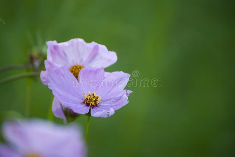 Πορφύρα λουλουδιών Starship στοκ εικόνα με δικαίωμα ελεύθερης χρήσης