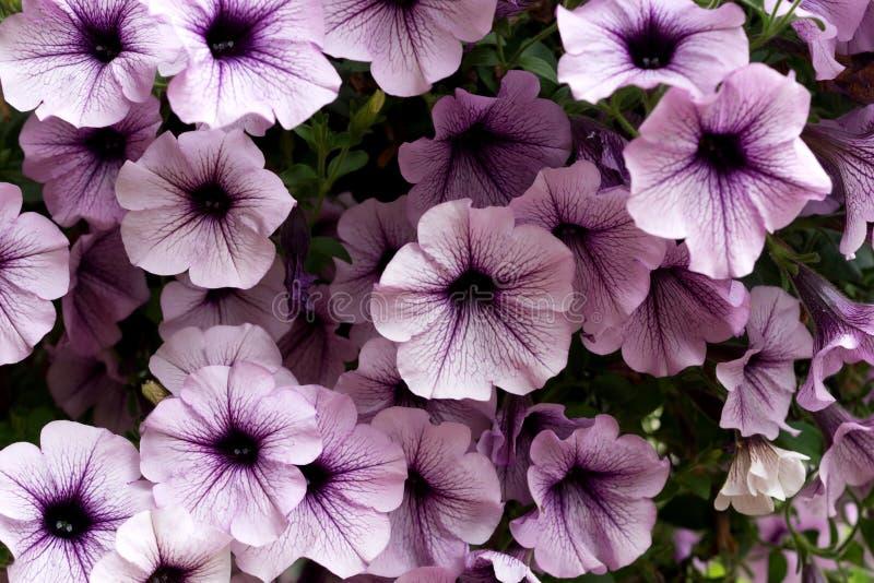 πορφύρα πετουνιών λουλουδιών στοκ εικόνες