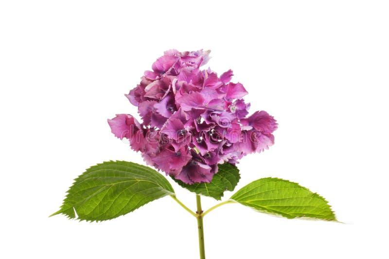 πορφύρα hydrangea λουλουδιών στοκ φωτογραφία