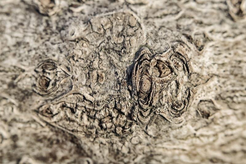 Πορώδης λοφώδης σύσταση του φλοιού μιας ελαφριάς σύστασης δέντρων στοκ φωτογραφία