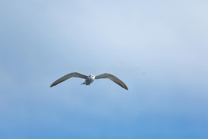 Ποταμογλάρονα που πετούν στο μπλε ουρανό στοκ εικόνα με δικαίωμα ελεύθερης χρήσης