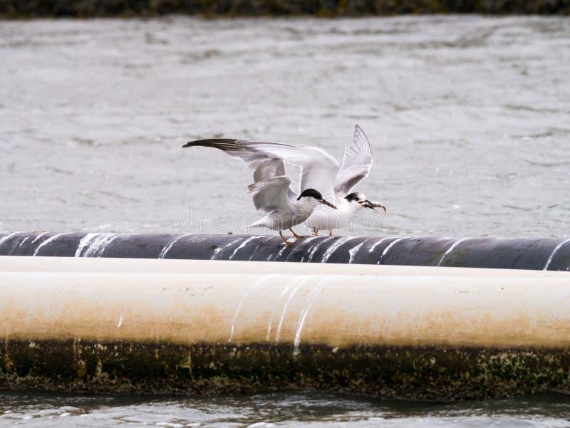 Ποταμογλάρονο, Sterna ενήλικος hirundo στο χειμερινό φτέρωμα και νεαρός στοκ φωτογραφία με δικαίωμα ελεύθερης χρήσης