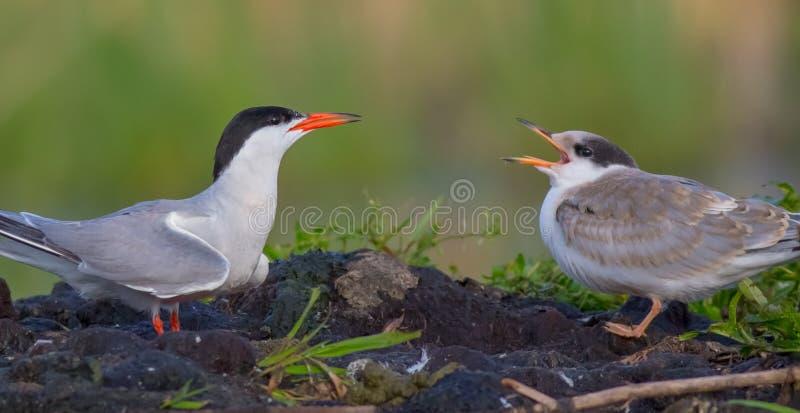 Ποταμογλάρονο - Sterna hirundo - ενήλικο πουλί με το νεοσσό στοκ φωτογραφίες με δικαίωμα ελεύθερης χρήσης