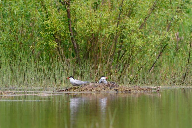 Ποταμογλάρονα στη φωλιά στοκ φωτογραφία με δικαίωμα ελεύθερης χρήσης