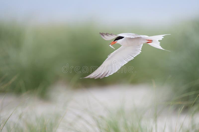 ποταμογλάρονο πτήσης ψα&rho στοκ εικόνες