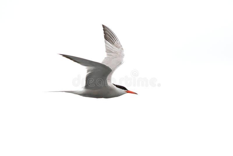 Ποταμογλάρονο - Sterna Hirundo - κατά την πτήση στοκ φωτογραφίες