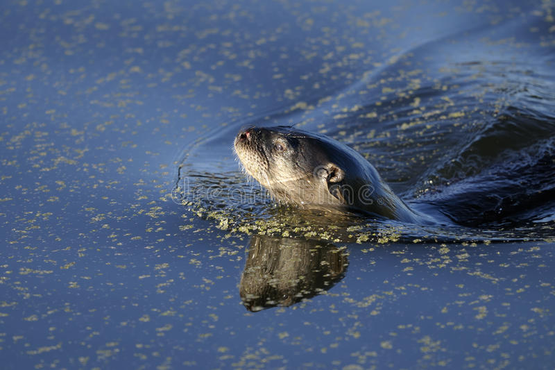 ποταμός ενυδρίδων lontra canadensis στοκ εικόνες με δικαίωμα ελεύθερης χρήσης